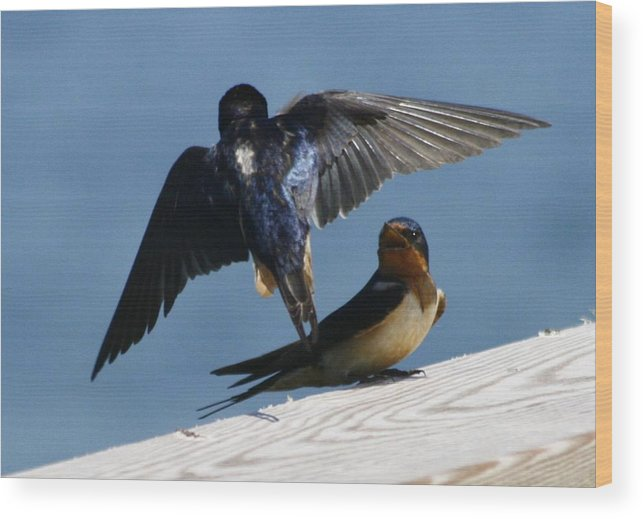 Barn Swallows Wood Print featuring the photograph Barn Swallows by Christopher Kirby