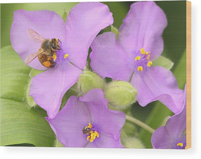 Nature Wood Print featuring the photograph Bee On Purple Spiderwort by Sheila Brown
