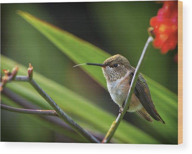 Canada Wood Print featuring the photograph Birds Of Bc - No. 31 - Rufous Hummingbird - Selasphorus Rufus by Paul W Sharpe Aka Wizard of Wonders
