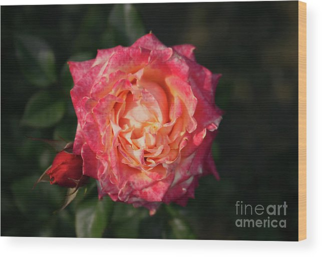 Rose Wood Print featuring the photograph Blossoming Rose by Juuso Viitanen