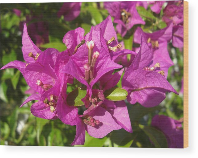 Flowers Wood Print featuring the photograph Bougainvillea by Frederic Kohli