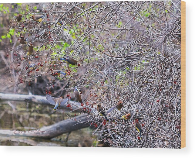 Heron Heaven Wood Print featuring the photograph Cedar Waxwings Feeding 2 by Edward Peterson
