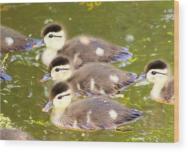 Wood Ducks Wood Print featuring the photograph Darling Ducklings by Jodi Sharp