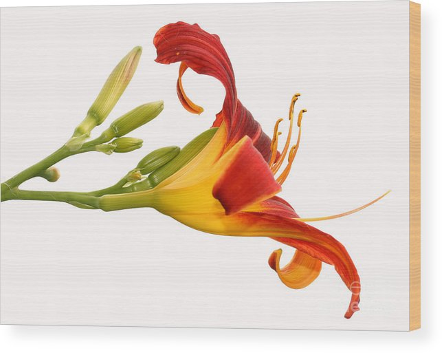Flower Wood Print featuring the photograph Daylily by Steve Augustin
