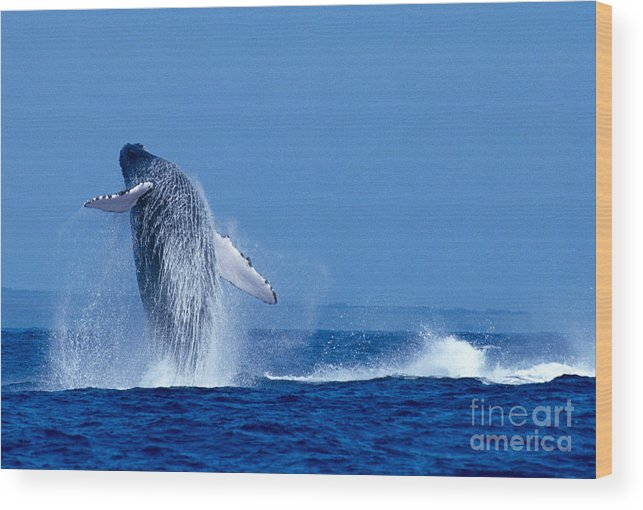 Animal Art Wood Print featuring the photograph Humpback Whale Breaching by Ed Robinson - Printscapes