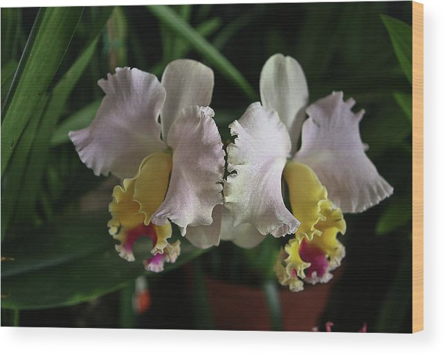 Orchid Wood Print featuring the photograph Light Pink And Yellow Orchid by Liz Santie