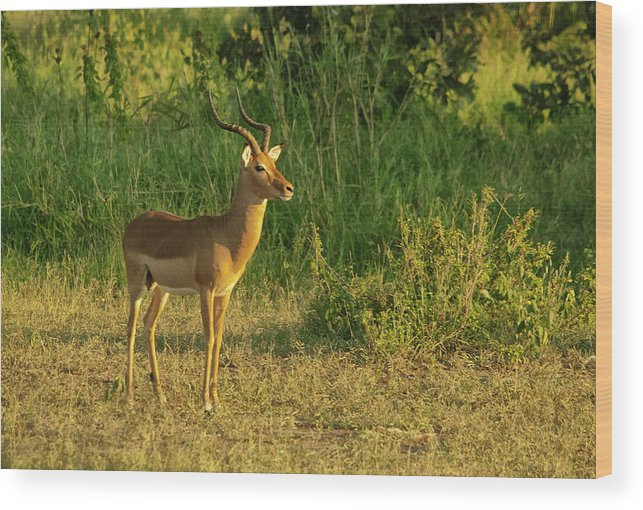 Impala Wood Print featuring the photograph Male Impala At Sunset by Andrew Oliver