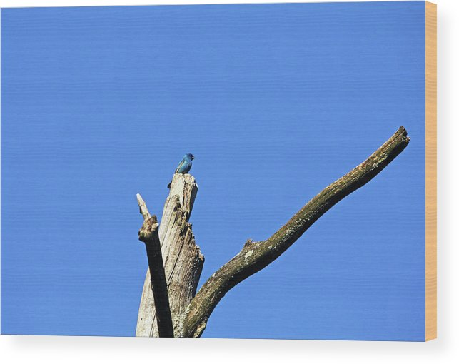 Indigo Bunting Wood Print featuring the photograph Male Indigo Bunting by Debbie Oppermann