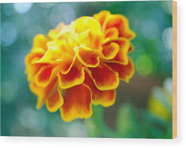 Flowers Wood Print featuring the photograph Marigold by Heather S Huston