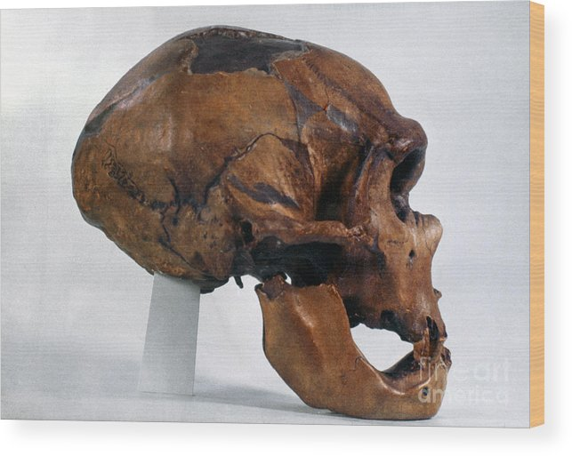 Artifact Wood Print featuring the photograph Neanderthal Skull by Granger