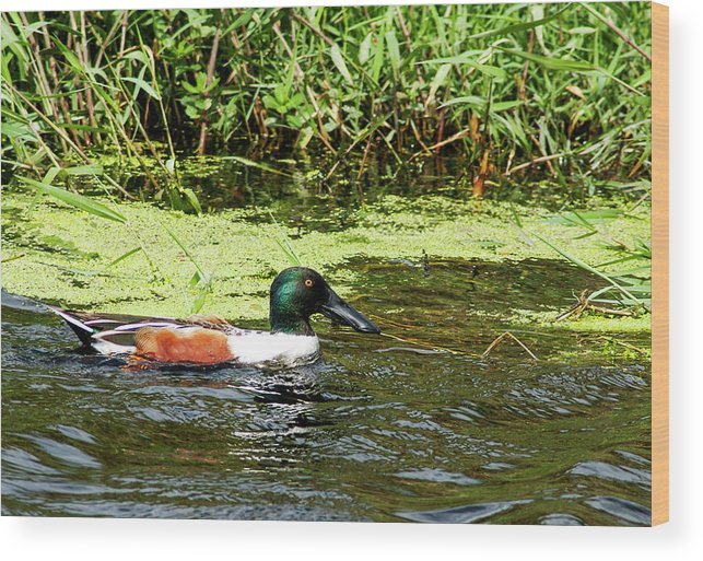 Northern Shoveler Wood Print featuring the photograph Northern Shoveler Drake by Norman Johnson