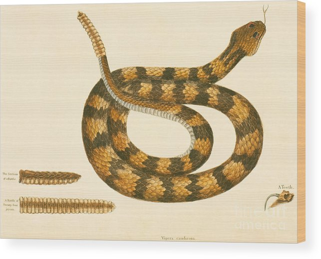 Viper Caudison Snake Wood Print featuring the drawing Rattlesnake by Mark Catesby