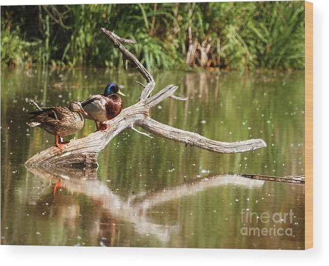 Birds Wood Print featuring the photograph Resting Mallards by Robert Bales