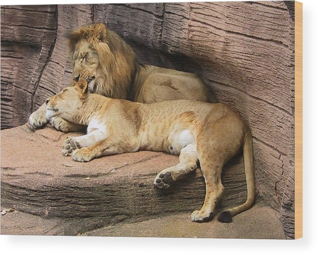 Lions Wood Print featuring the photograph The Lions by Michele Caporaso