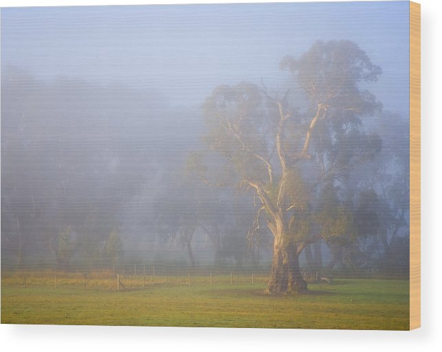 Tree Wood Print featuring the photograph White Gum Morning by Mike Dawson