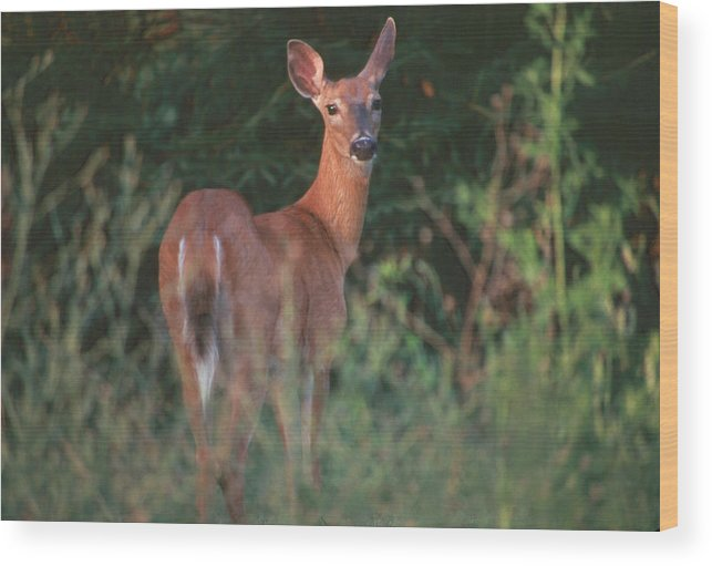 Deer Wood Print featuring the photograph White-tail Deer by Raju Alagawadi