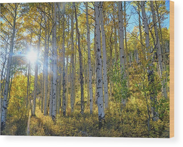 Aspens Wood Print featuring the photograph Afternoon Aspens by Brian Kerls