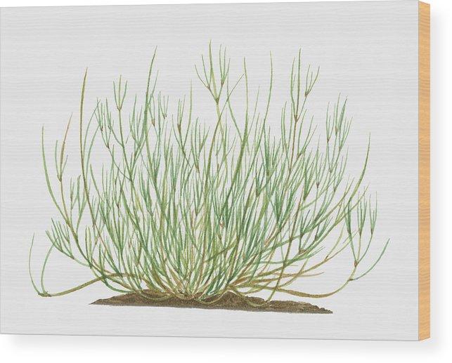 Illustration Of Ephedra Sinica Wood Print