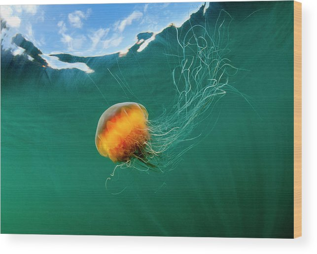 Underwater Wood Print featuring the photograph Jellyfish, Alaska by Paul Souders
