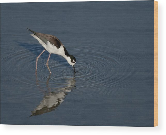 Black Necked Wood Print featuring the photograph Black Necked Stilt by Betty Depee