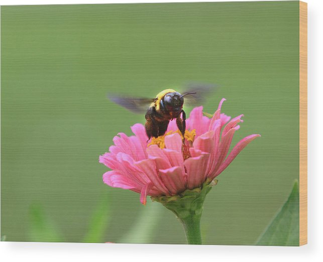 Bumblebee Wood Print featuring the photograph Bumblebee by Kevin Devine