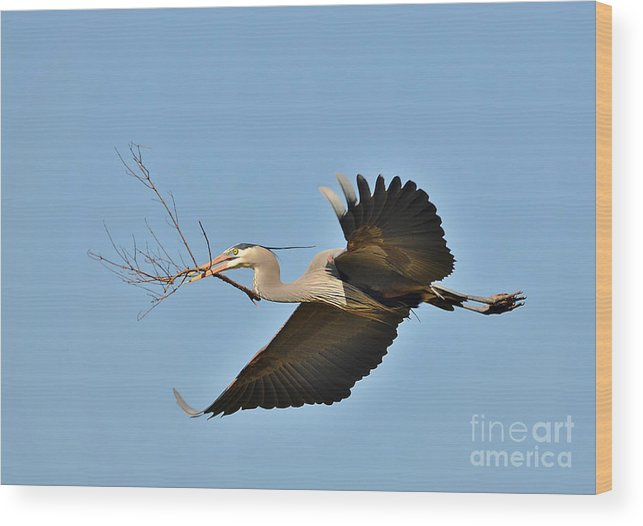 Heron Wood Print featuring the photograph Collecting Nest Materials by Kathy Baccari