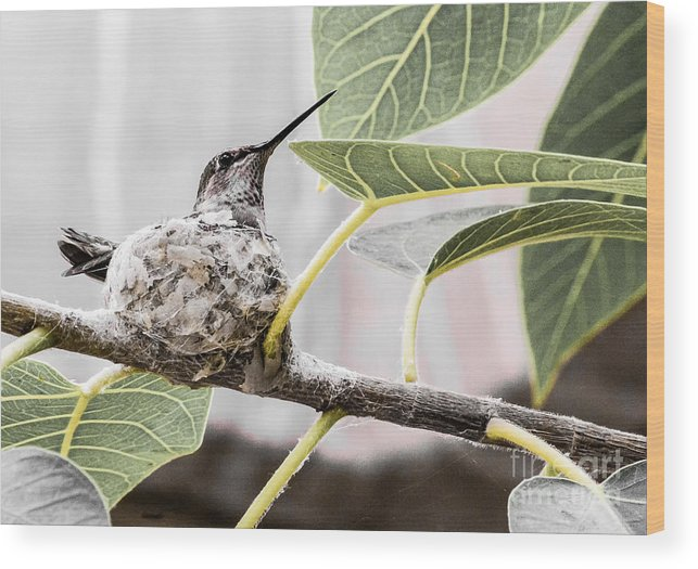 Humming Bird Wood Print featuring the digital art Expectant Mother by Georgianne Giese