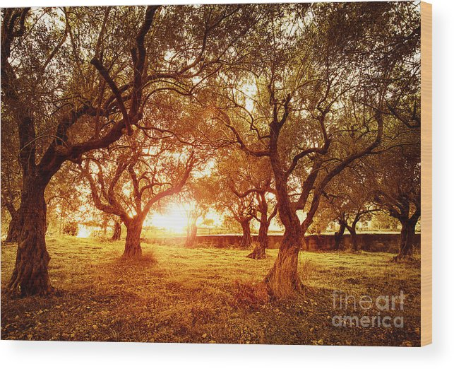 Agriculture Wood Print featuring the photograph Olive Trees Garden by Anna Om