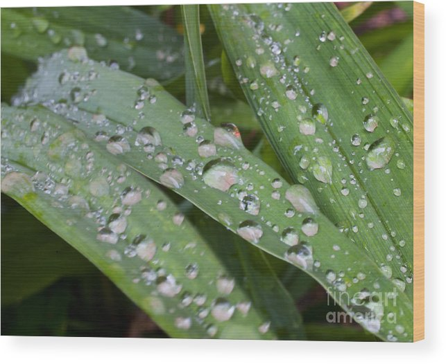 Daylily Wood Print featuring the photograph Raindrops On Daylily Leaves by Jonathan Welch