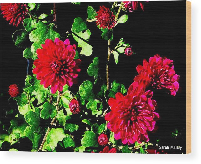 Garden Flower Wood Print featuring the photograph Shady Chrysanthemum by Sarah Malley
