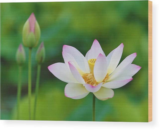 Pink Wood Print featuring the photograph White Lotus Flower And Buds by Jack Nevitt