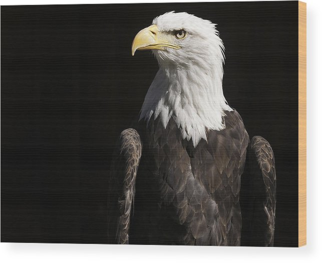 American Bald Eagle Wood Print featuring the photograph American Bald Eagle by Karin Haas