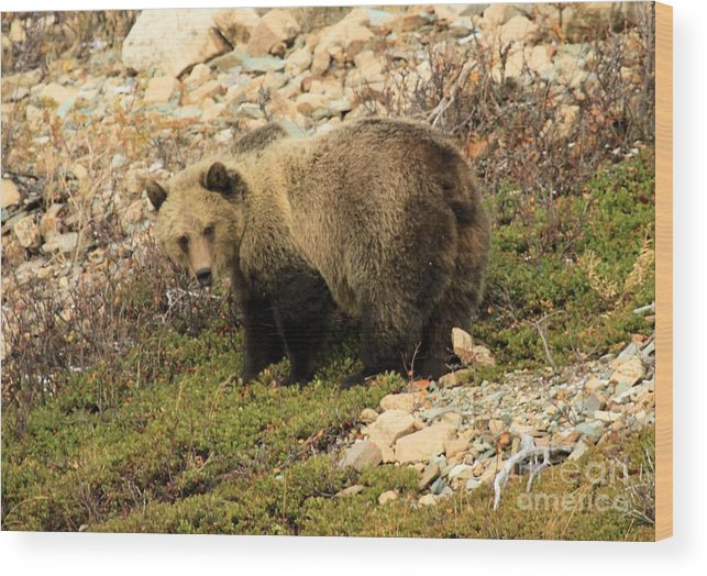 Grizzly Bear Wood Print featuring the photograph What's That I Smell? by Adam Jewell