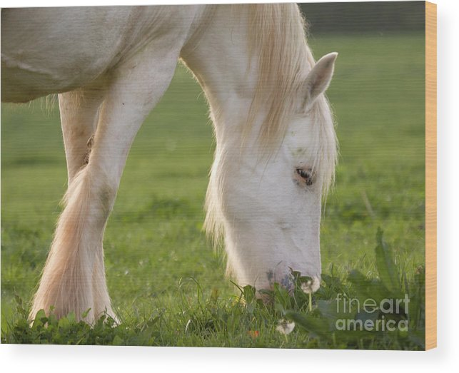 Horse Wood Print featuring the photograph White Horse by Angel Ciesniarska