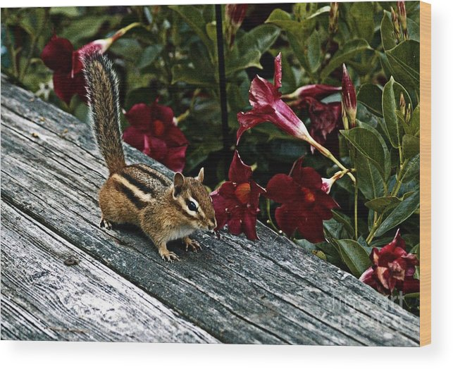 Chipmunk Wood Print featuring the photograph Cuteness Alert by Catherine Melvin