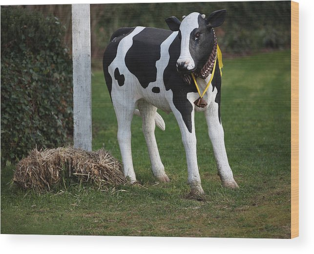 Dairy Wood Print featuring the photograph Dairy Cow Stature. by Oscar Williams