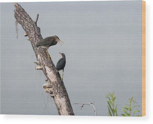 Green Heron Wood Print featuring the photograph Green Herons At The Water Cooler by David Ramage