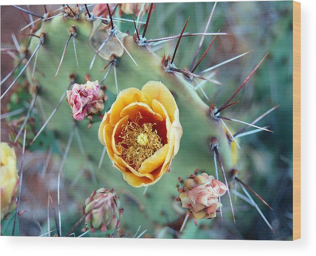 Prickly Pear Wood Print featuring the photograph Prickly Pear Bloom by Heather S Huston