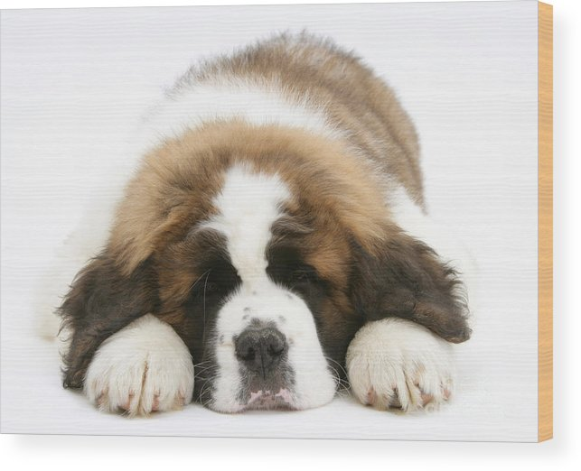 Animal Wood Print featuring the photograph Saint Bernard Puppy Sleeping by Mark Taylor