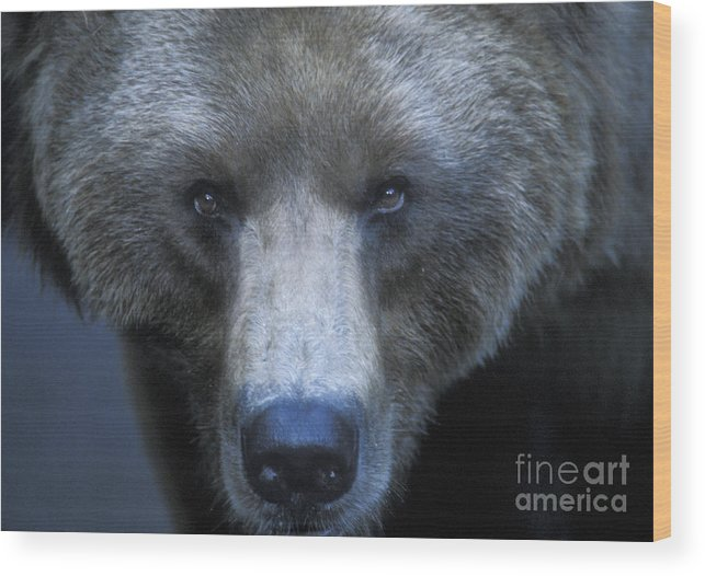 Yellowstone Wood Print featuring the photograph Stare Down by Sandra Bronstein
