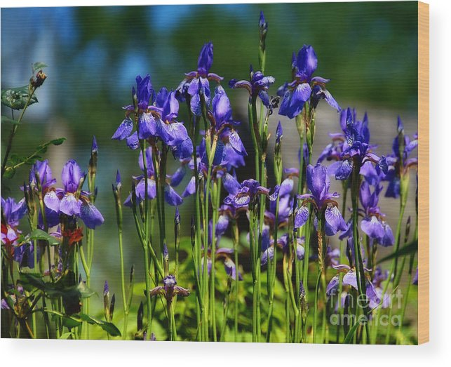 Iris Wood Print featuring the photograph Wild Iris Field by Elaine Manley