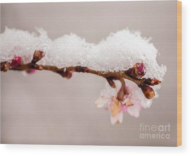 Iris Holzer Richardson Wood Print featuring the photograph Cherryblossom With Snow by Iris Richardson