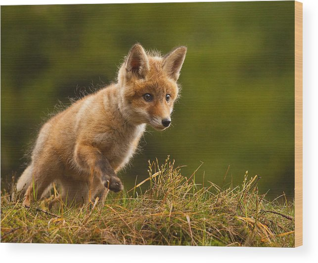 Red Fox Wood Print featuring the photograph Fox by Robert Adamec
