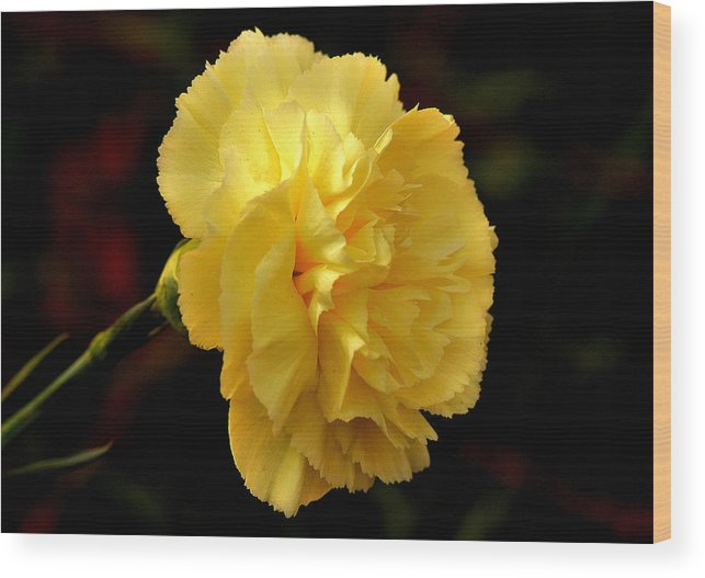 Yellow carnation flower wood print by johnson moya yellow flower wood print featuring the photograph yellow carnation flower by johnson moya mightylinksfo