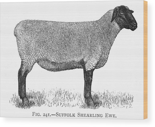 Sheep Wood Print featuring the drawing A Suffolk Shearling Ewe     Date by Mary Evans Picture Library