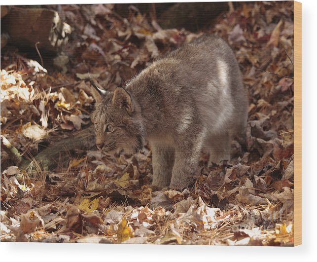 Baby Lynx Hunting In An Autumn Forest Wood Print featuring the photograph Baby Lynx Hunting In An Autumn Forest by Inspired Nature Photography Fine Art Photography