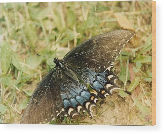 Butterfly Wood Print featuring the photograph Fragile Beauty by Mary Wolf