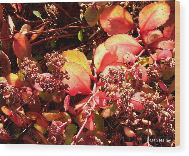 Garden Plant Wood Print featuring the photograph Glow On Sedum by Sarah Malley