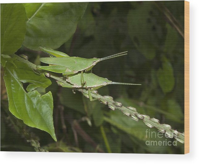 Grasshopper Wood Print featuring the photograph Grasshopper Mating On Grass Leaf by Rudra Narayan Mitra