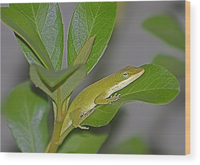 Anole Wood Print featuring the photograph Little Anole At Sundown by Jeanne Kay Juhos